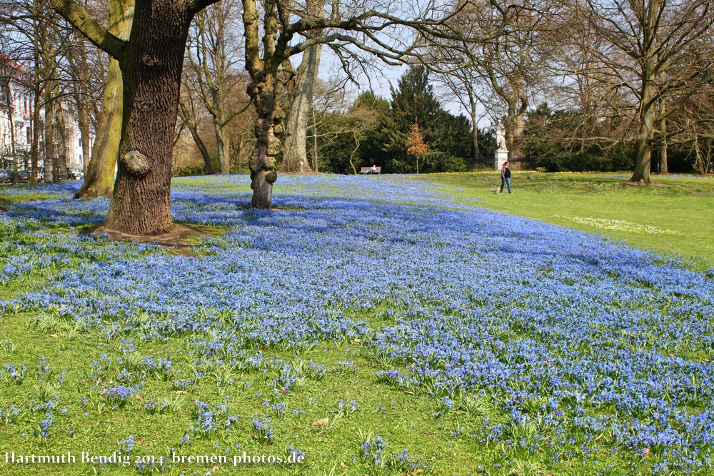 blaues Blütenmeer in den Bremer Wallanlagen